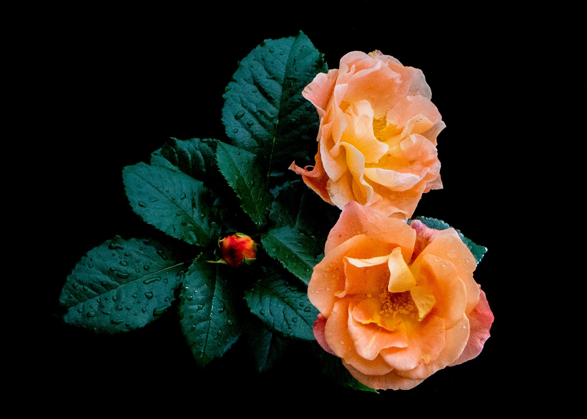 """Inger Postvoll: """"Roses"""""""
