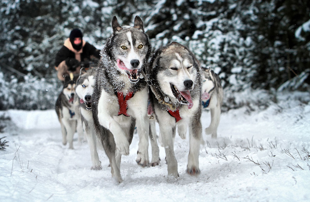 Sled Dog Races--Roland Jensen
