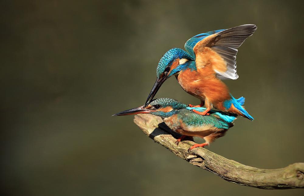 Kingfisher Love--Roland Jensen