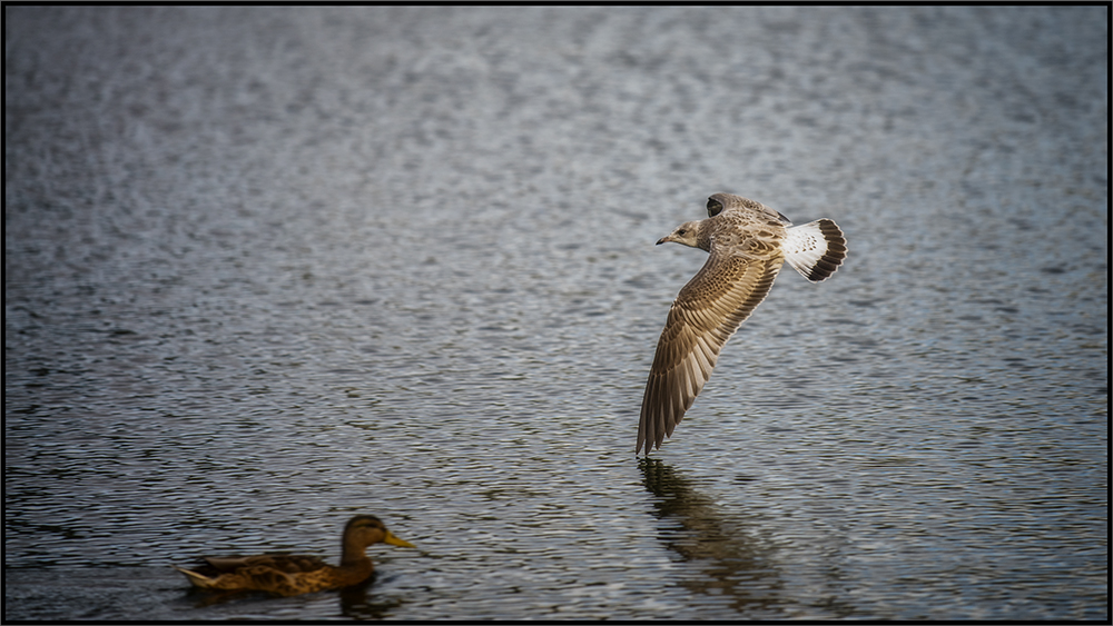 almost touches the water with my wing (foto: Roy Arild Nilsen)