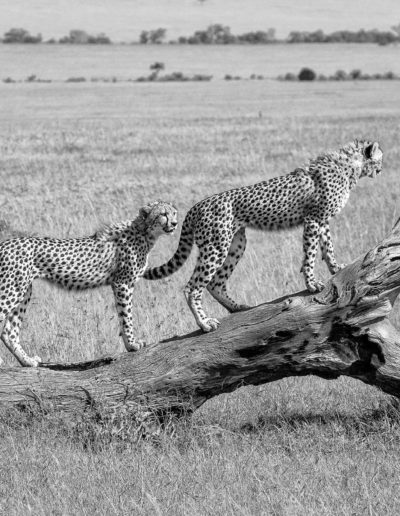 "Arne Bergo ""Four Cheetahs at log"""