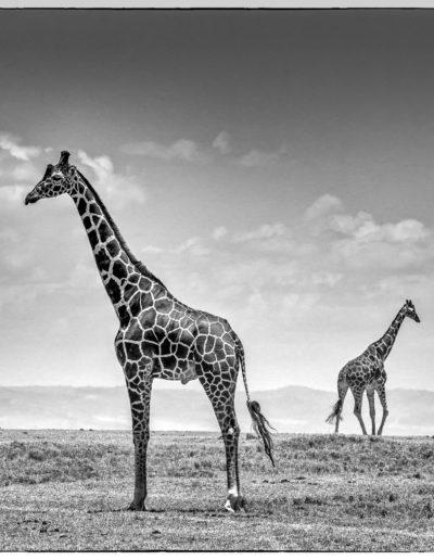"""Arne Bergo """"Girafs opposite M"""""""