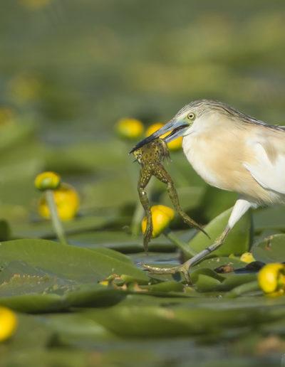 "Atle Sveen ""Squacco heron with frog"""