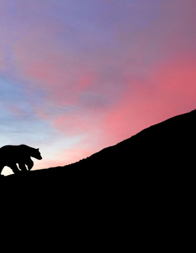Silhuett isbjørn