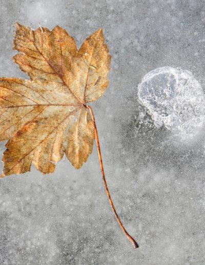 Anne Katharine Dahl: Golden leaf in ice