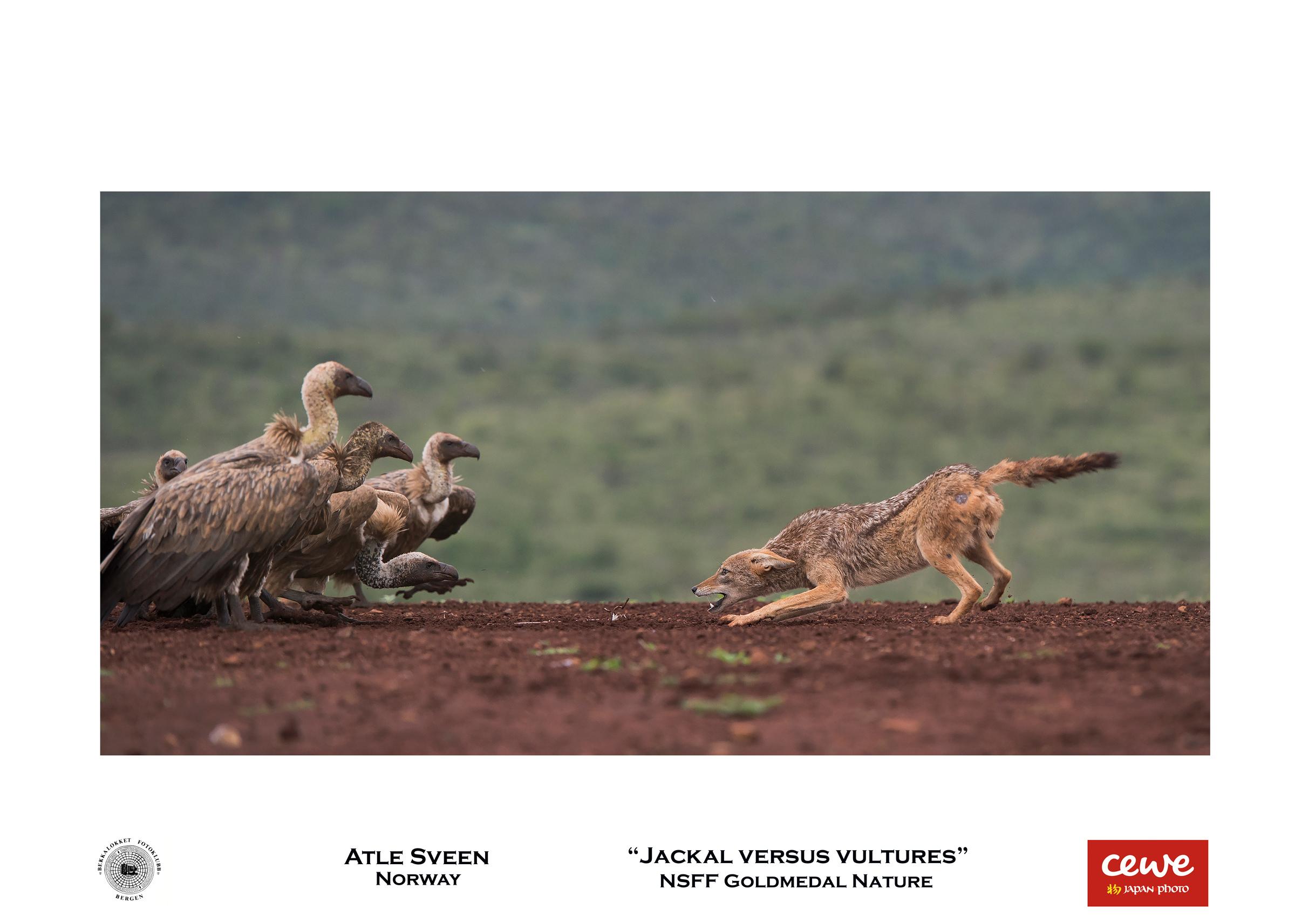 """NSFF Gold nature: Atle Sveen """"Jackal versus vultures"""""""