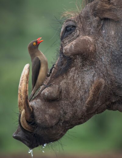EFIAP_D1 Atle Sveen: Warthog and oxpecker