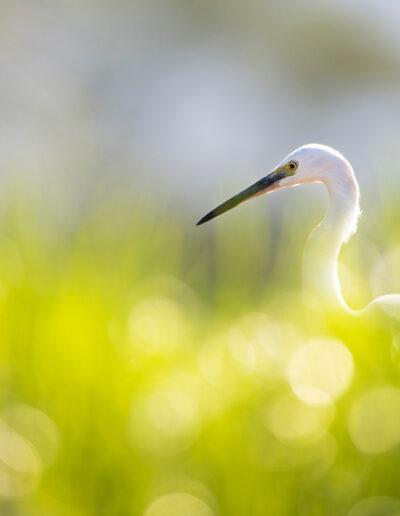 EFIAP_D1 Atle Sveen: Little egret in tall grass