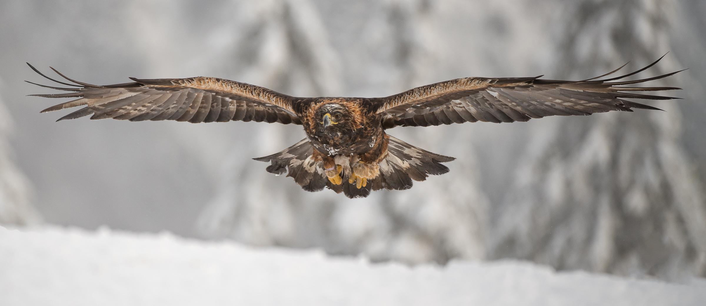 Arriving golden eagle (Gaute Frøystein, Bodø FK)