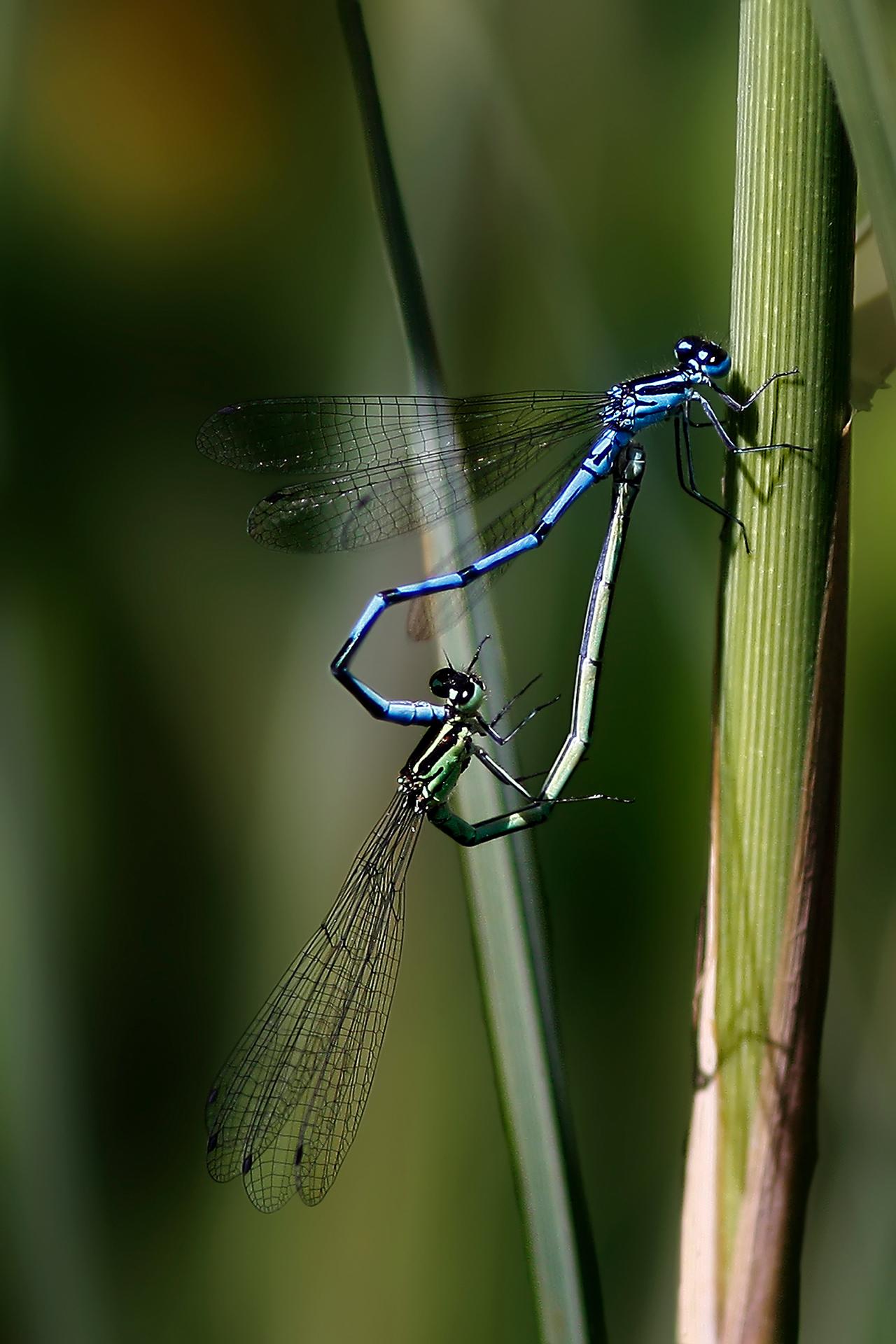 Dragonflies in love (Bente R. Dybesland, Team Raw)