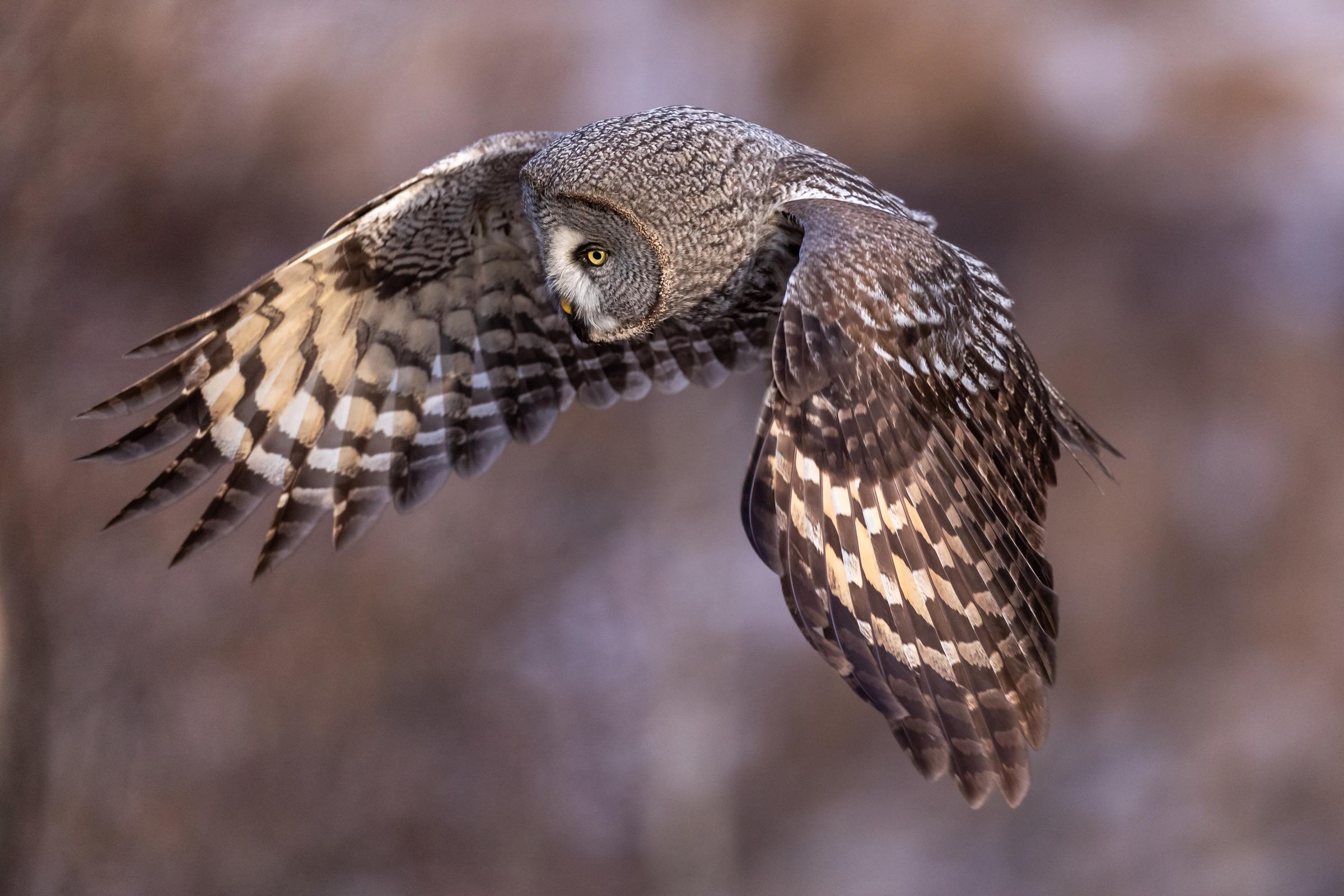 Great Grey Owl (Tore Tangen, Asker og Bærum fotoklubb)