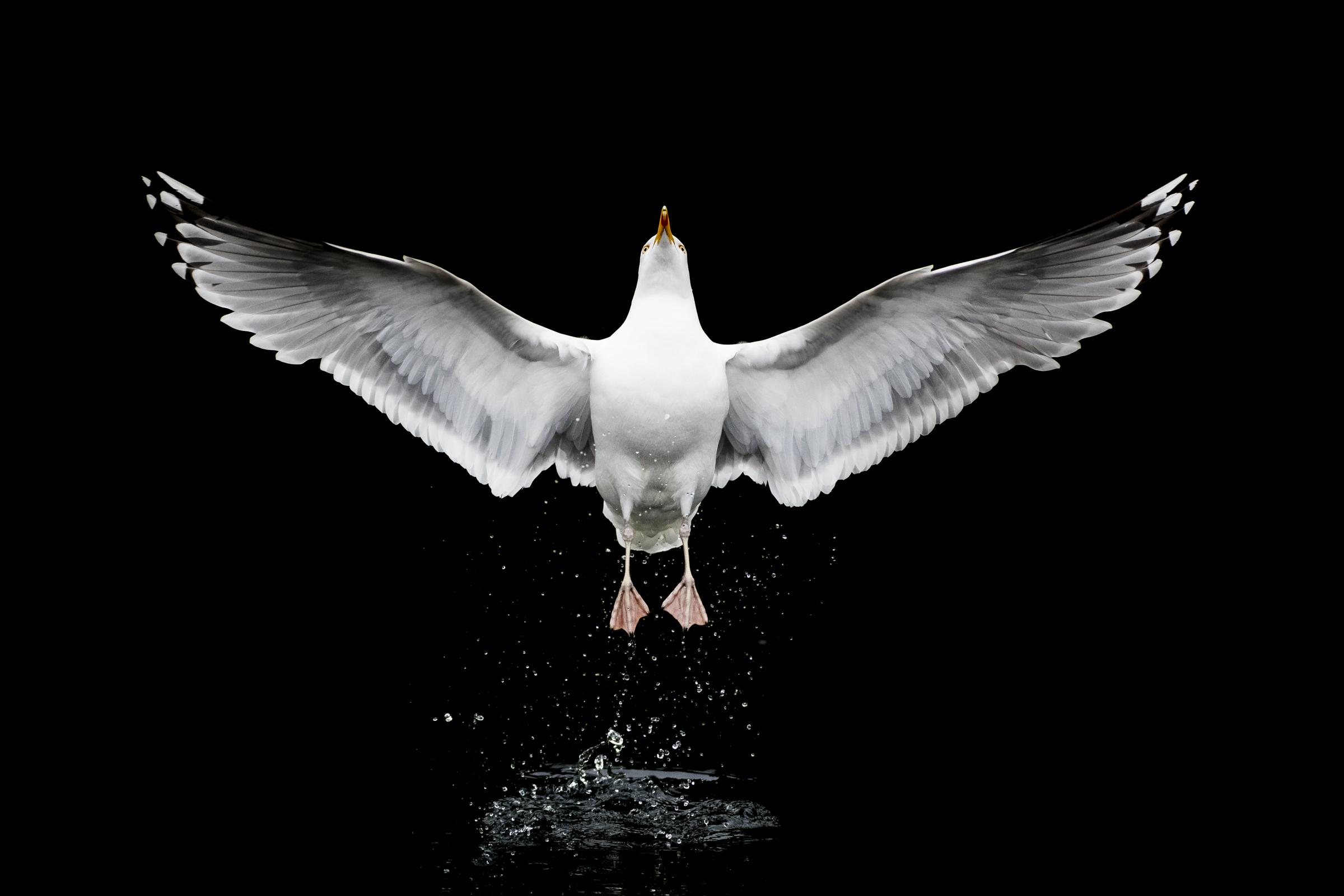 Herring Gull (Eyjolfu Matthiasson, Linselusa)