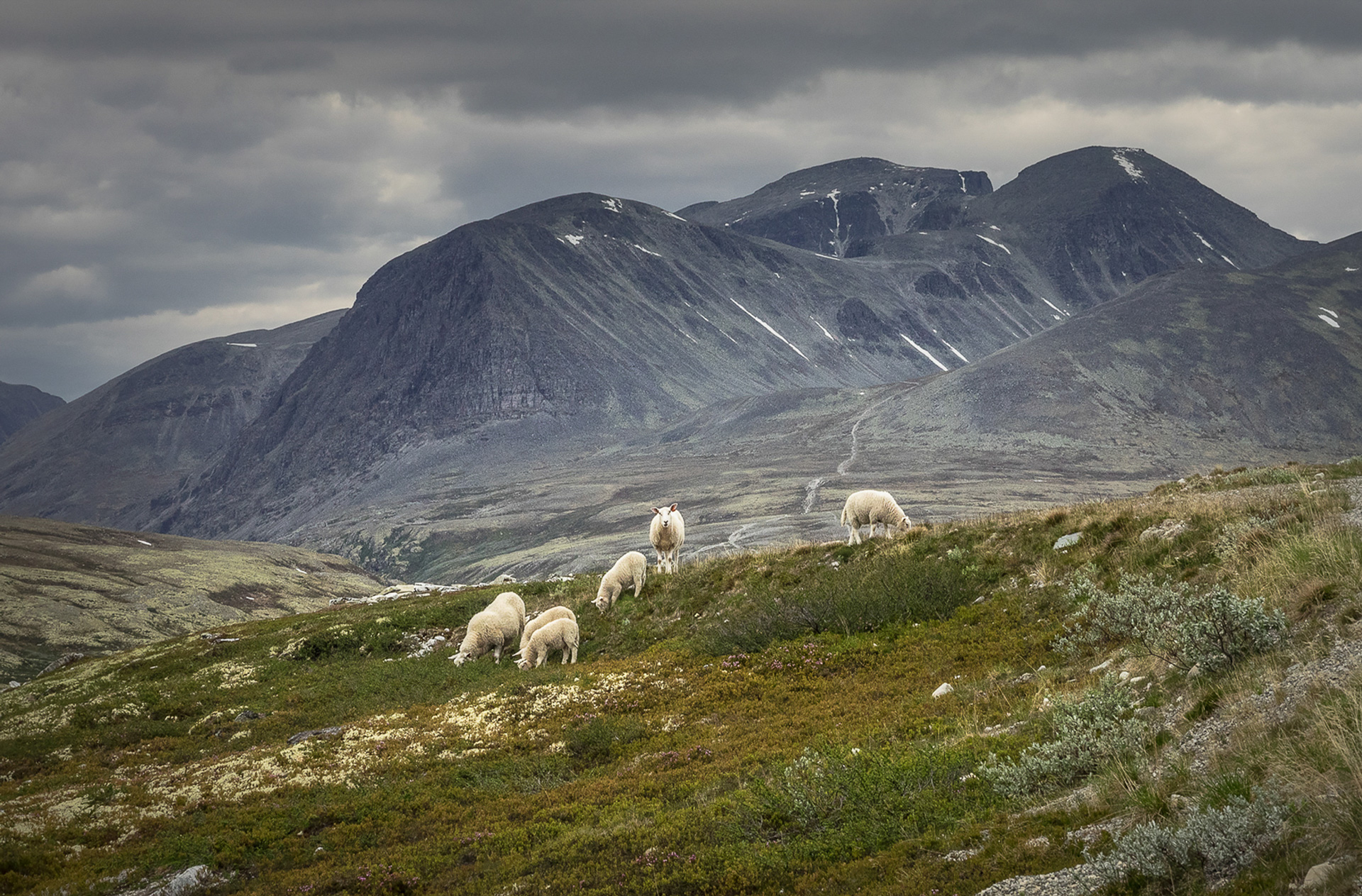"Veronika Sund: ""Sheep in Rondane"""