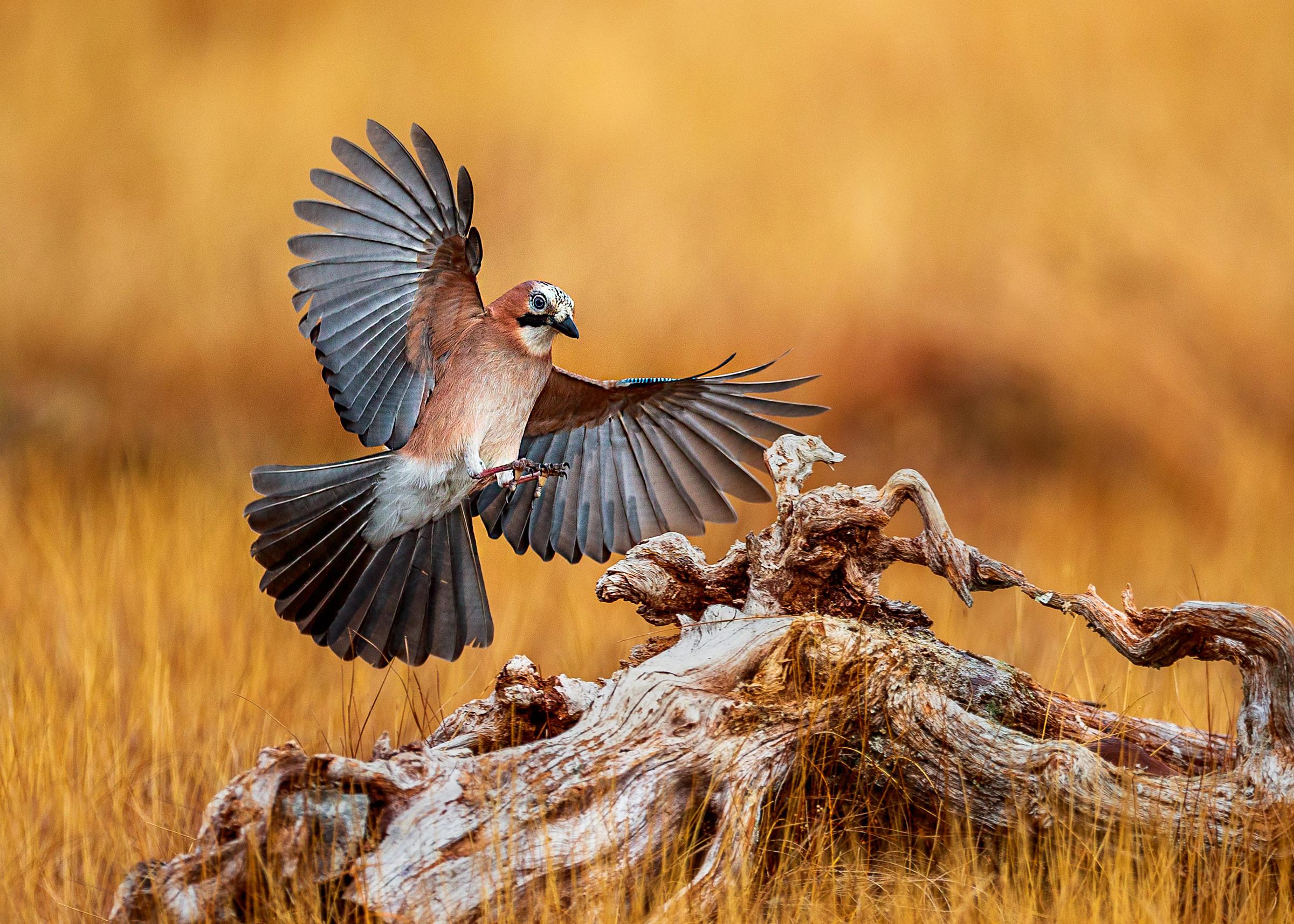 Eaurasian Jay landing (Espen Lossius, Bekkalokket FK)