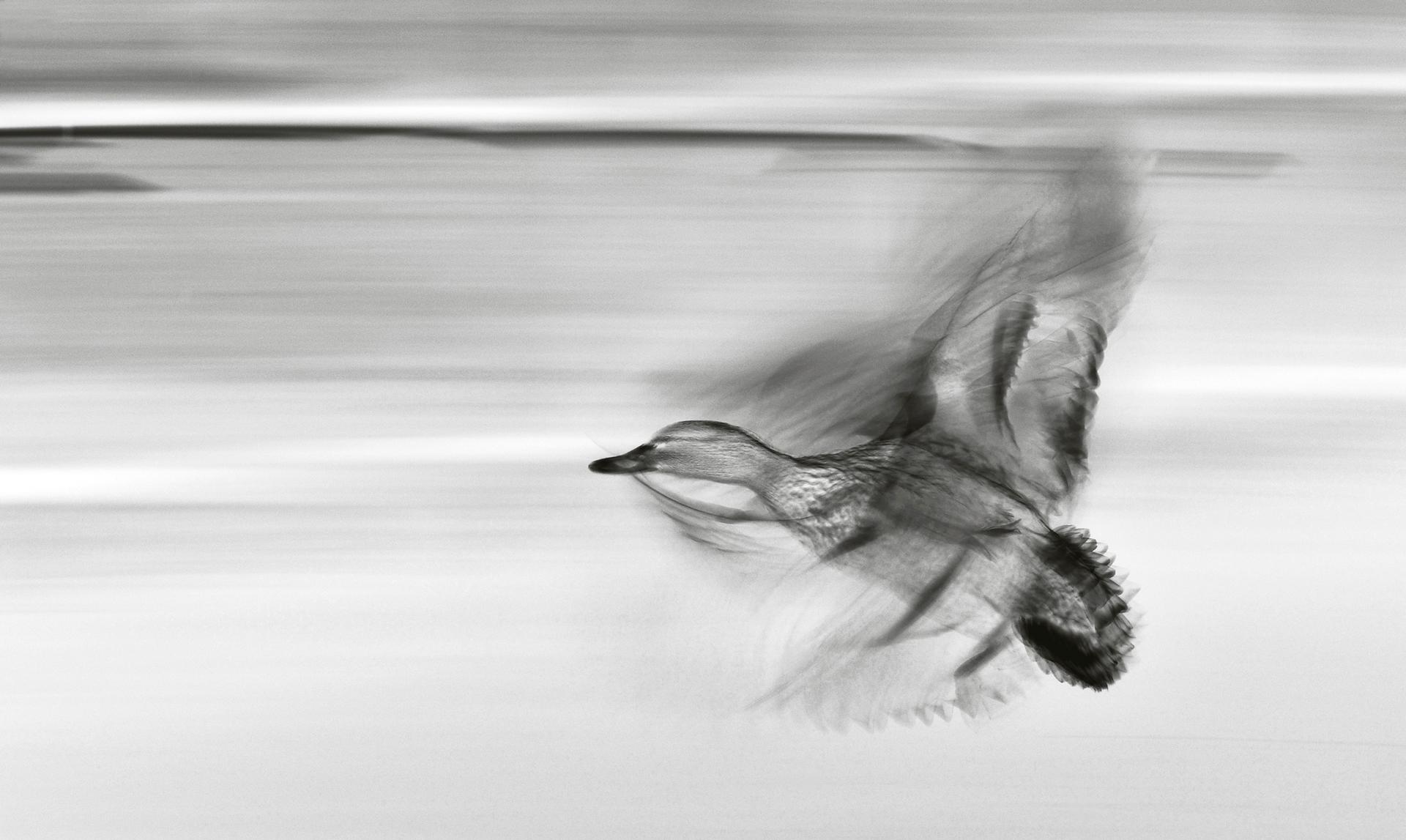 Sandnes Fotoklubb, Anne Øverås: Duck